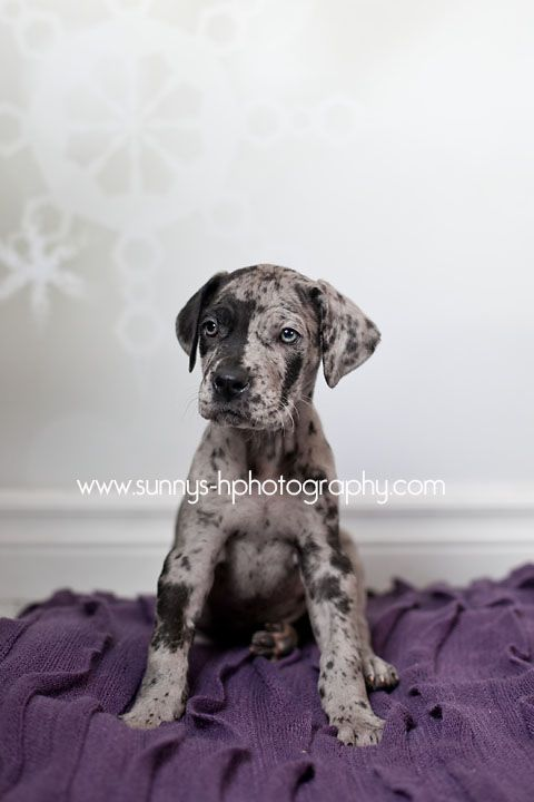 7 Week Old Great Dane Puppy Pretty Much The Cutest Face Ever