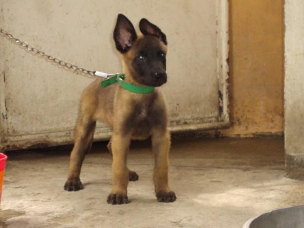 Awwwwwwwwwwwwwwwwe I Want Malinois Belgian Malinois Malinois Belgian Malinois Dog