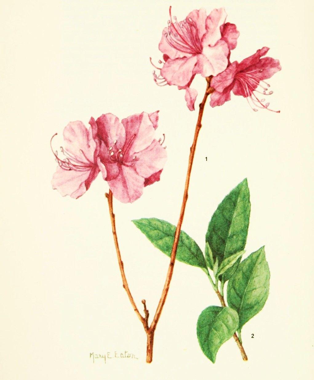 Gravure Fleur Rhododendron Mucronulatum Ciliatum Azalee Mucronee
