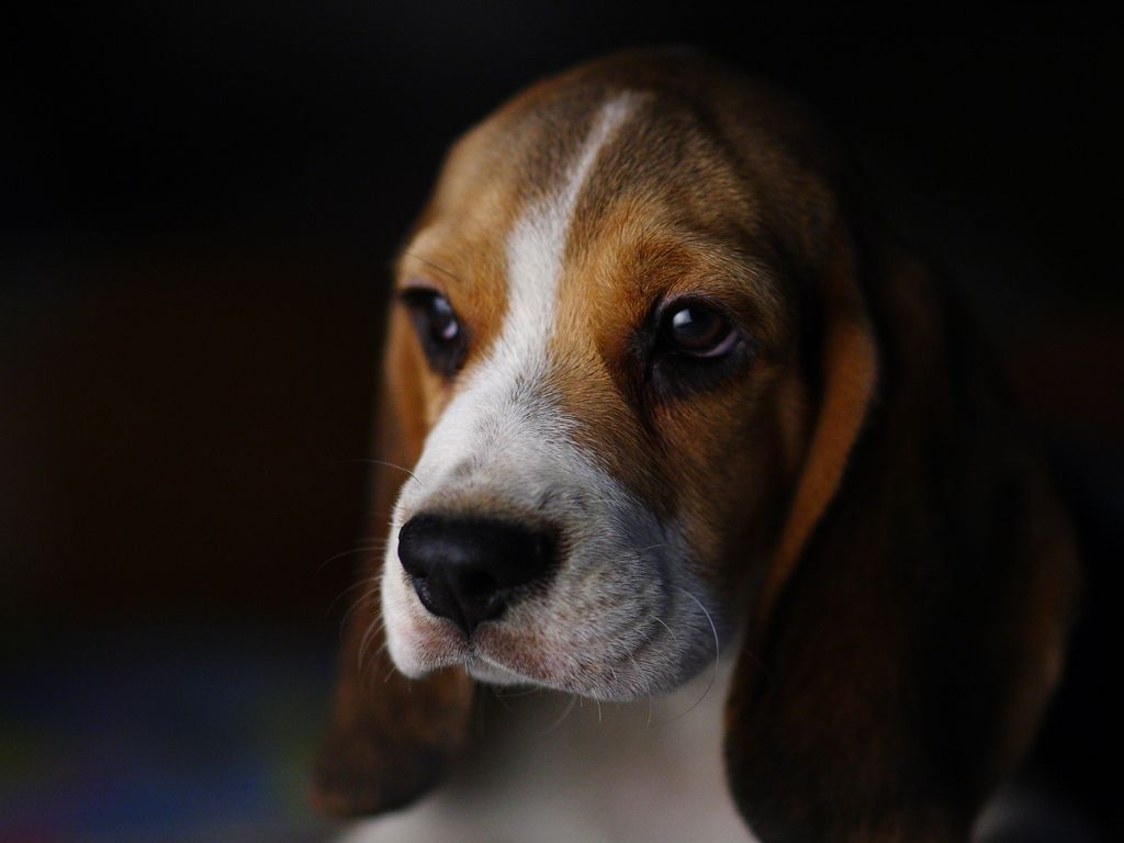 Top Smart Beagle Adorable Dog - a08c748e74f8f0daf10d434f876478bc  Trends_272391  .jpg