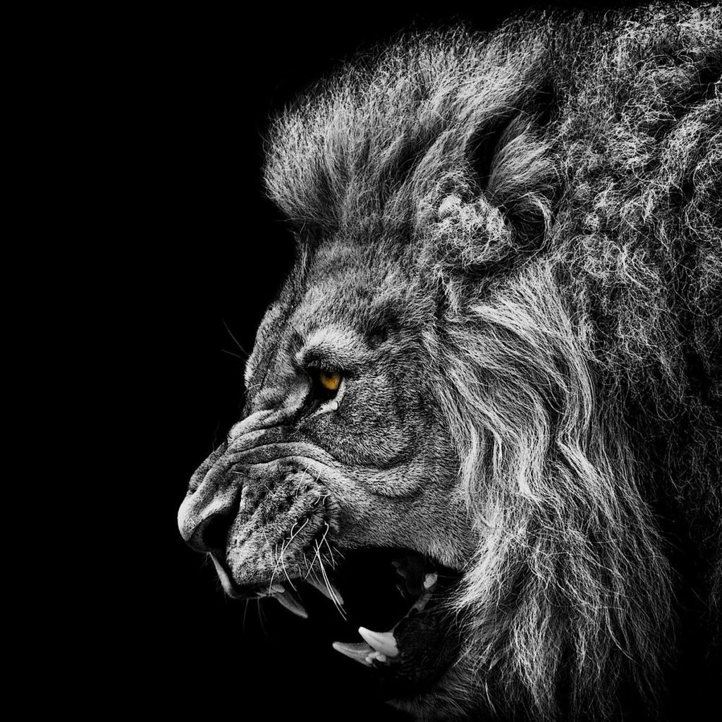 Go Hard Or Go Home Lion Hd Wallpaper Lion Wallpaper