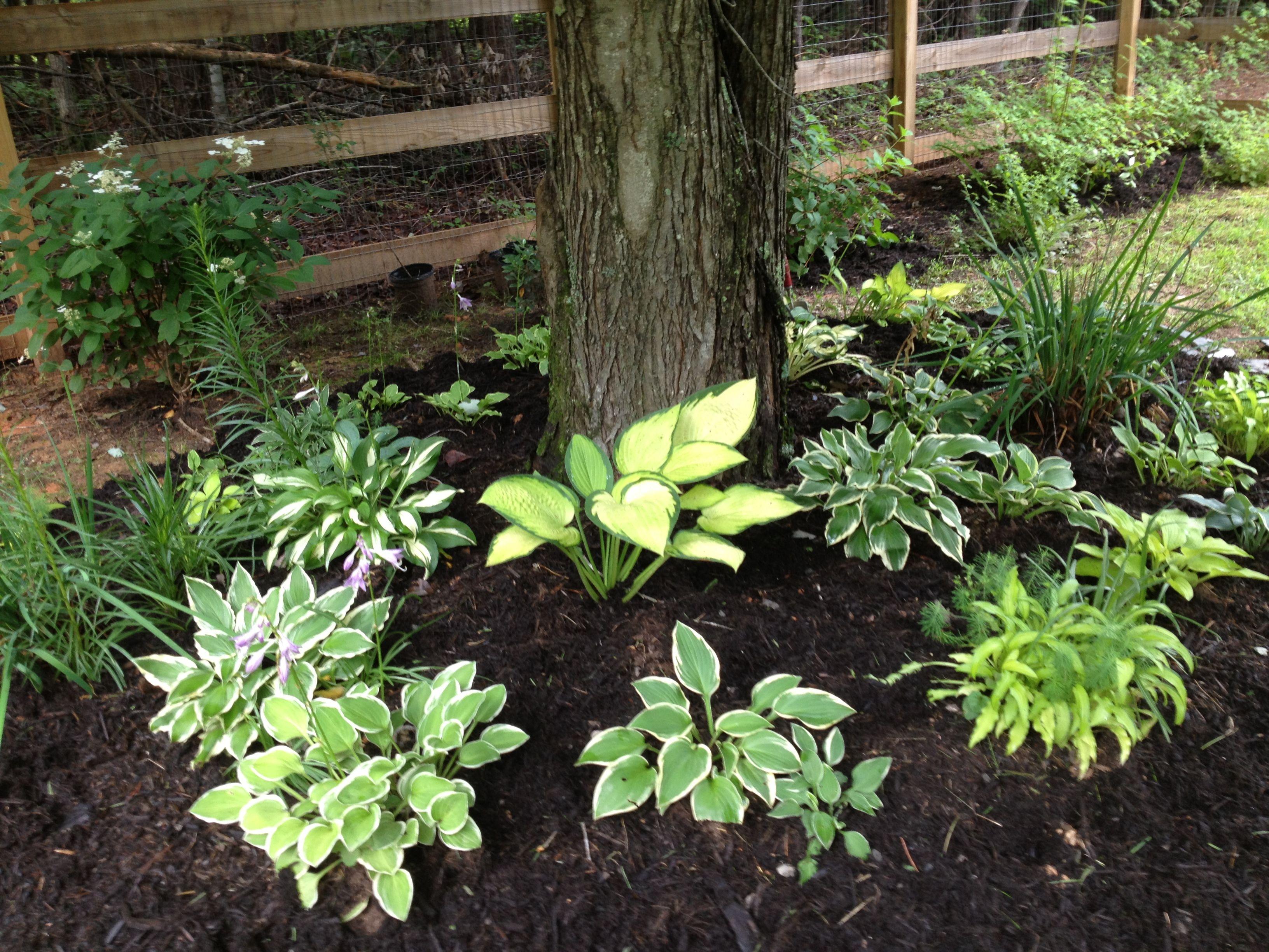 Flower garden ideas for under a tree - Hostas Lovely Under A Shade Tree