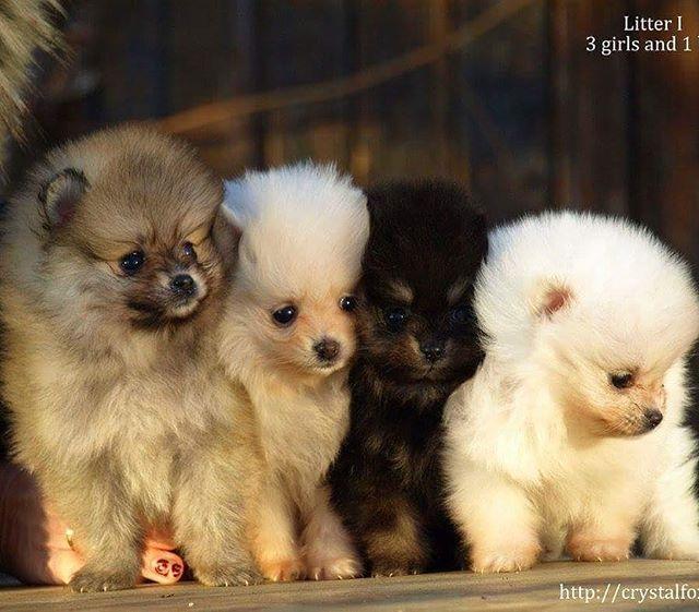 Crystal Fox I Litter Puppy Litter Cute Animals Pomeranian Puppy