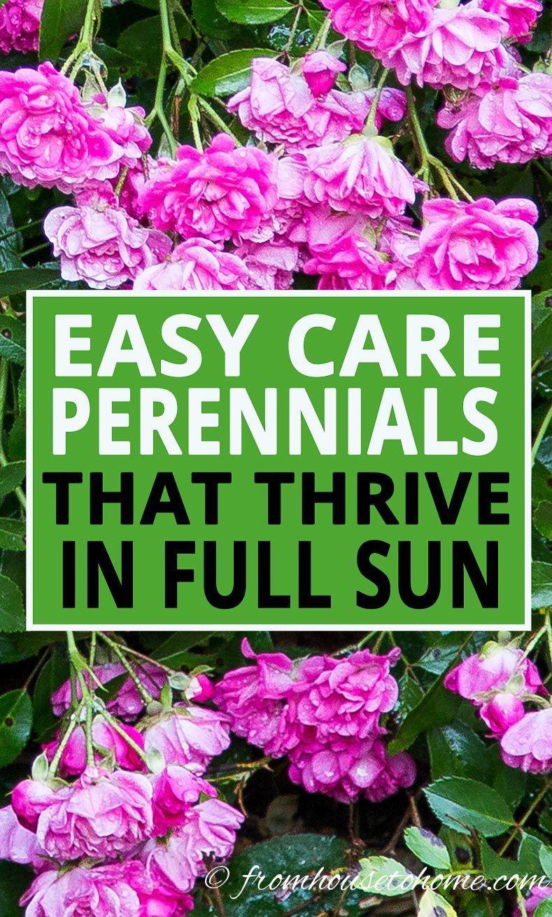 Full Sun Perennials 10 Beautiful Low Maintenance Plants That Thrive In The Sun Full Sun Perennials Full Sun Garden Sun Perennials
