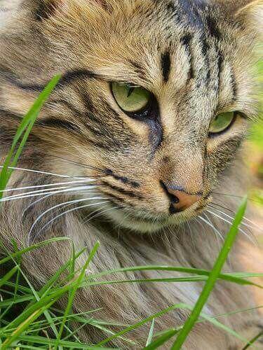 yetz gato