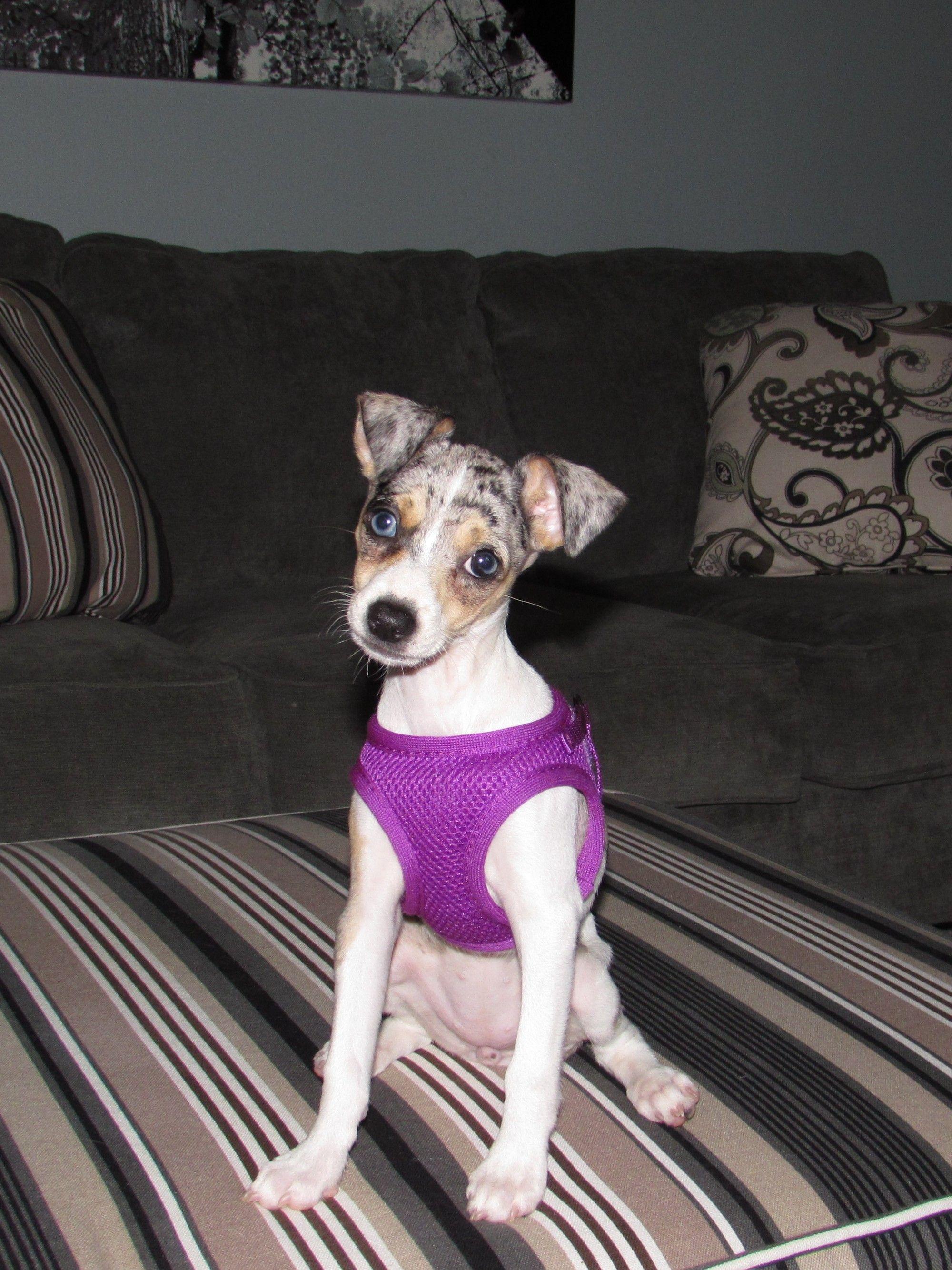 Winnie ,black ,tan ,Merle Rat Terrier   Puppies   Pinterest   Rat ...