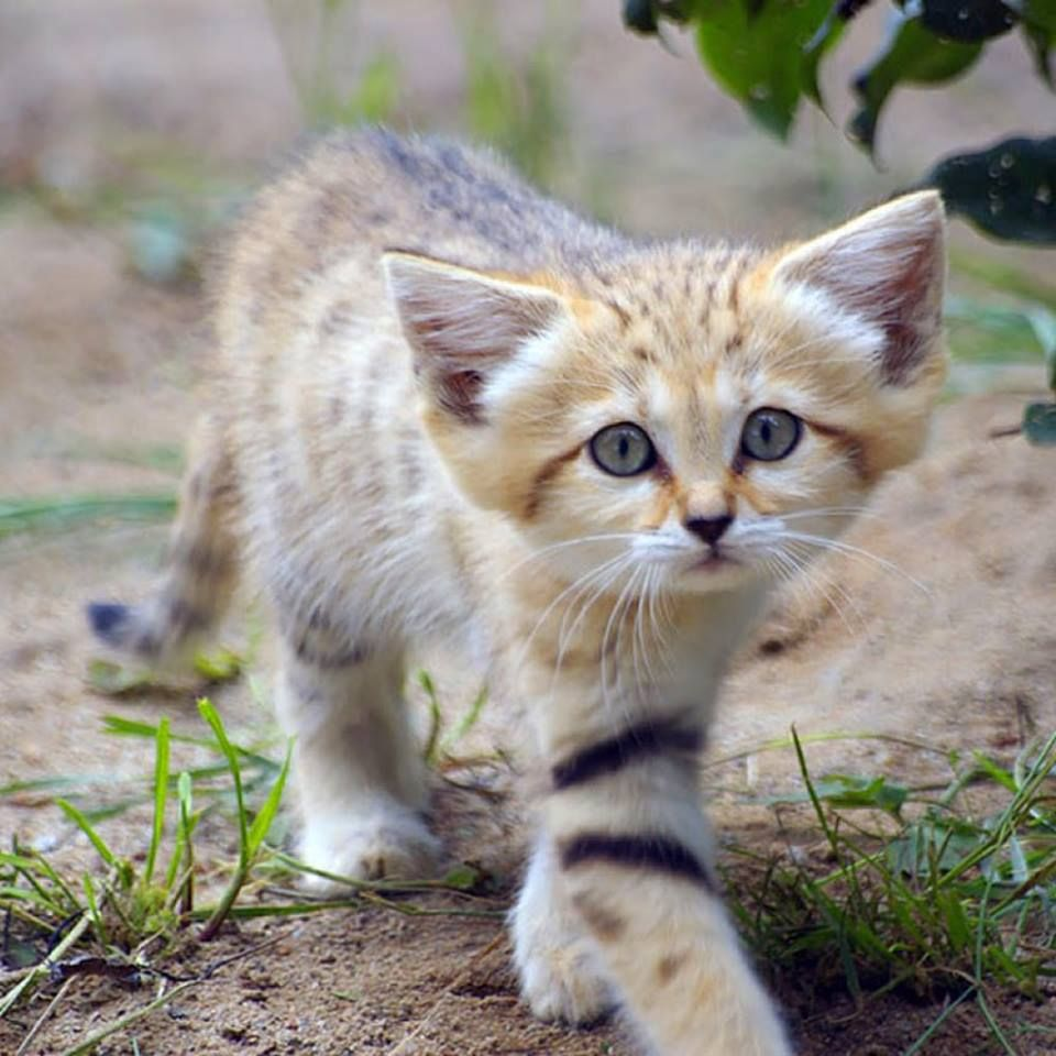 """Sand cats retain a kittenlike look their whole lives"