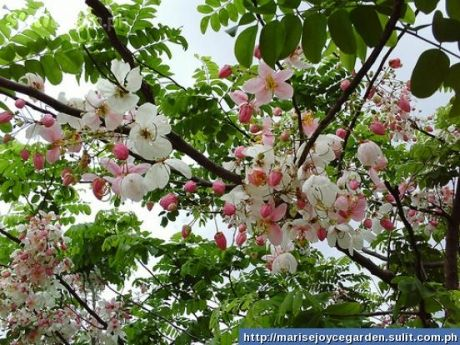 Local Name Balayong Scientific Name Cassia X Palawan Cherry Palawan Cherry Is A Small To Medium Sized Tree 15m Or Taller Palawan Outdoor Gardens Plants
