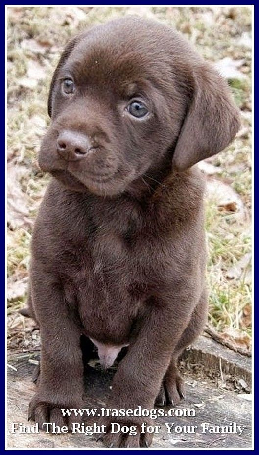 Dog Ownership Ideas Lab Puppies Puppy Breeds Beautiful Dogs