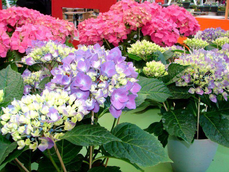 Como controlar y cambiar el color de las hortensias - Hortensias cuidados poda ...
