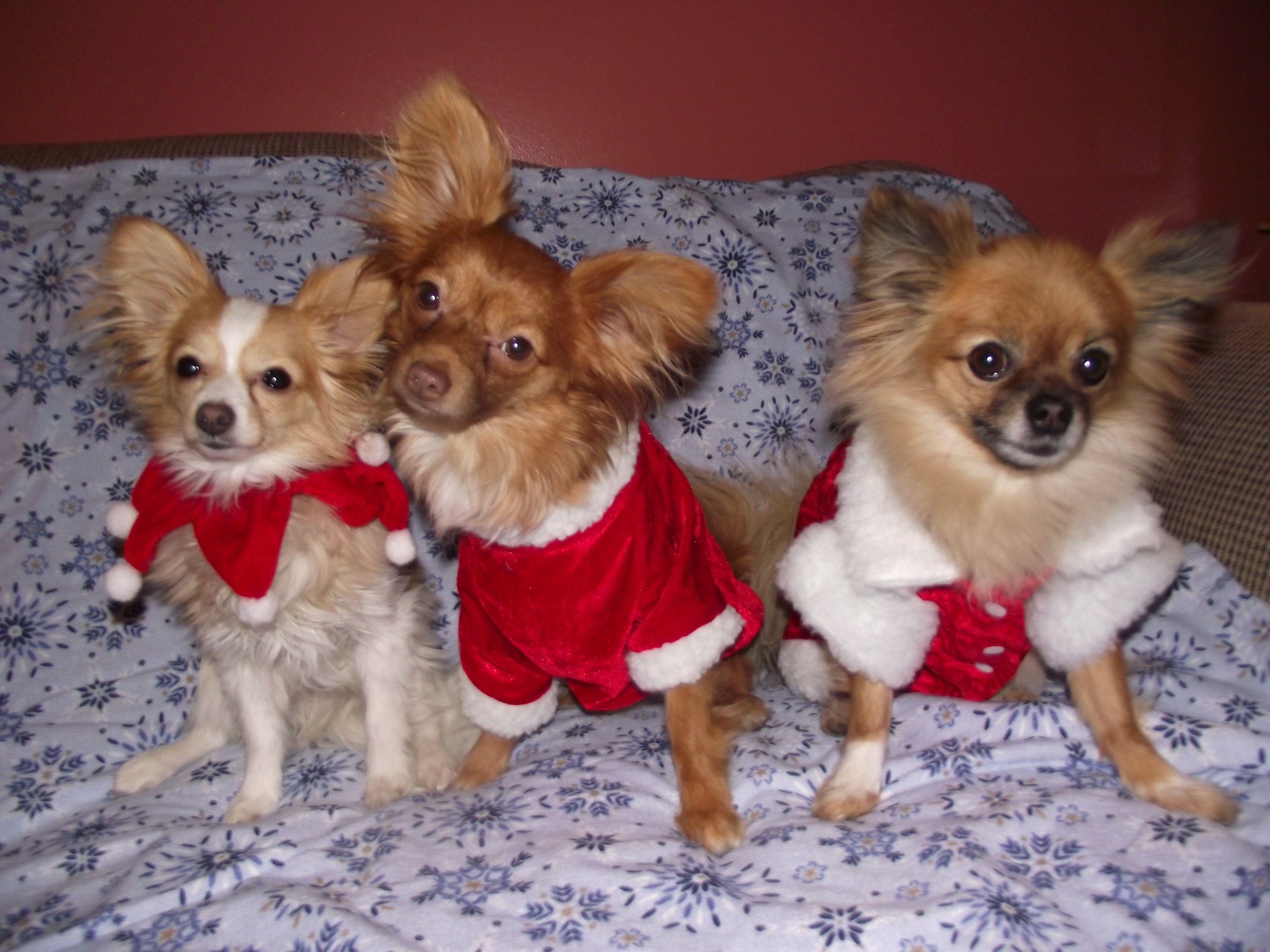 3 amigos santa paws christmas animals teacup chihuahua