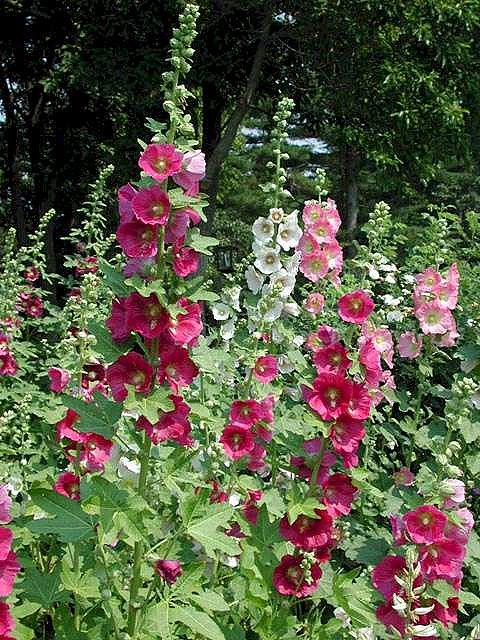 Hollyhock Flower...my favorite