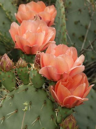 Photo of Opuntia, Prickly Pear Cactus, Large Peachy Pink Blossoms