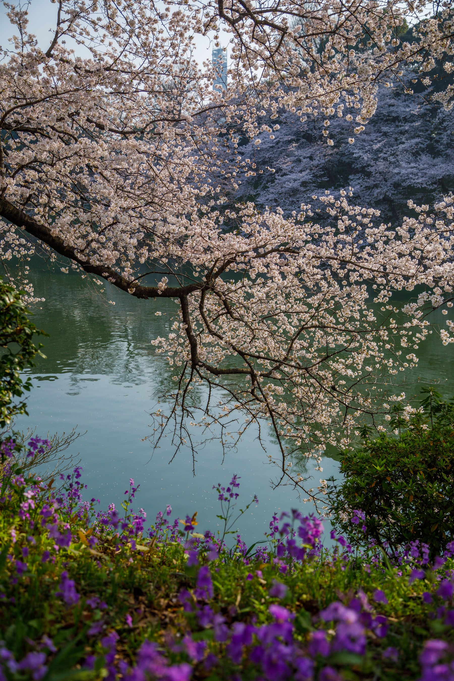 Instagrammable Spots In Japan 7 Gorgeous Spots For Cherry Blossoms In Japan Cherry Blossom Japan Spring Vacation Spots Travel Destinations Australia