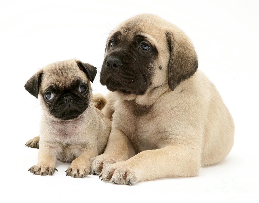 Pug And English Mastiff Puppies By Jane Burton Mastiff Puppies