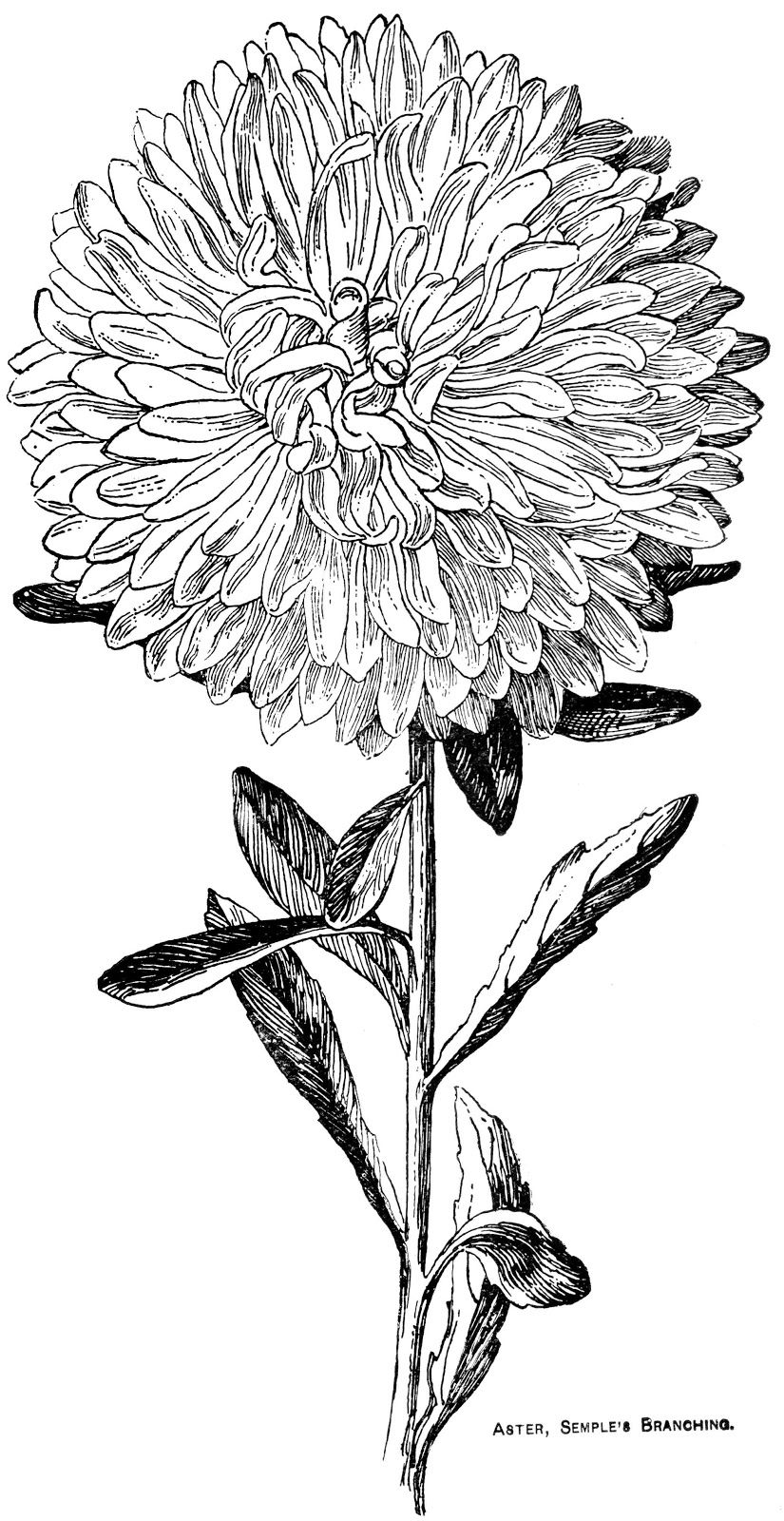 Digital Two For Tuesday Asters Flower Line Drawings Floral Drawing Flower Drawing
