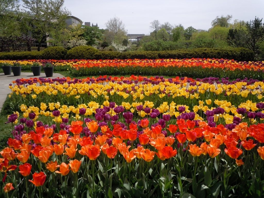 Tulips In Full Bloom At Cleveland Botanical Garden May 2013 Pictures From The Field Pinterest