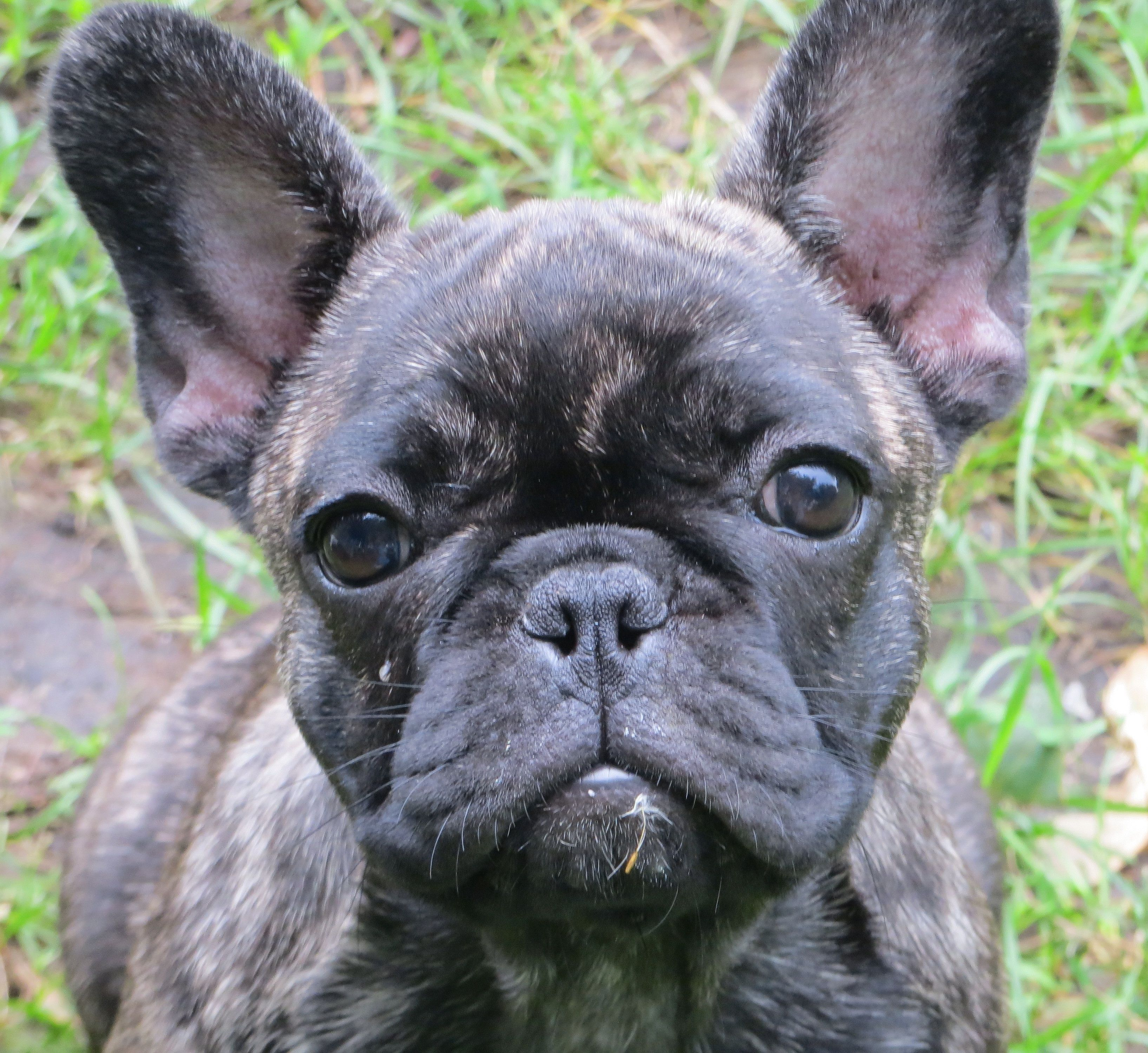"""lily"""" the second, tiger brindle girl at 3 mos of age, french"""