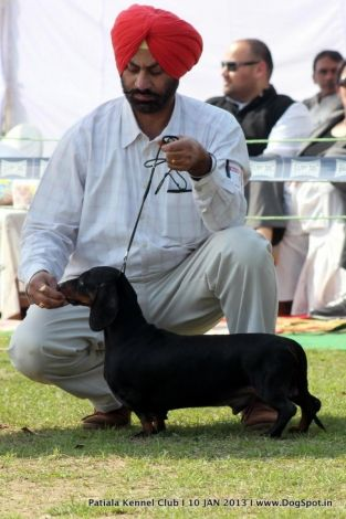 Standard Smooth Haired Dachshund Picture In Patiala Dog Show With