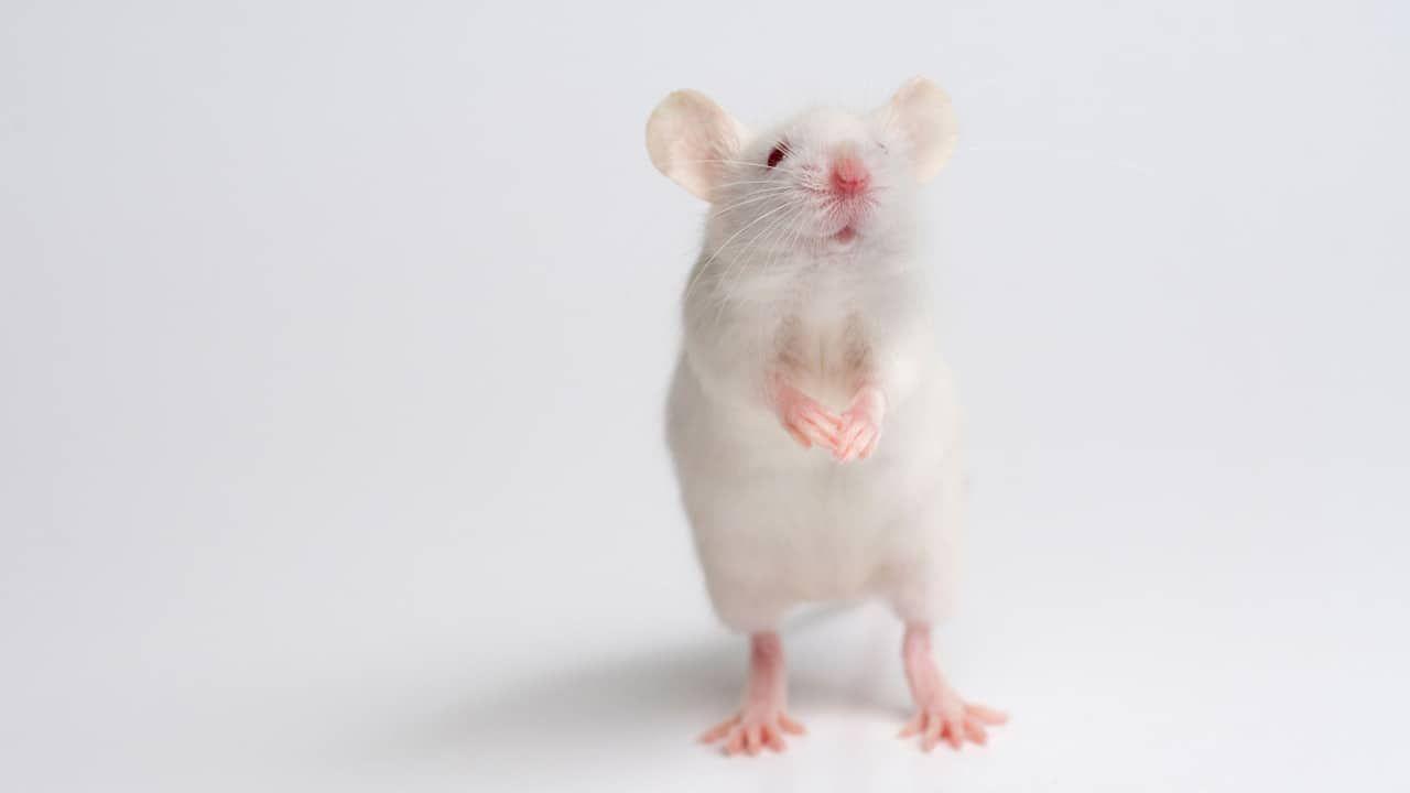 تفسير رؤيا الفارة البيضاء بالتفصيل موسوعة Cute Rats Rats Pet Mice