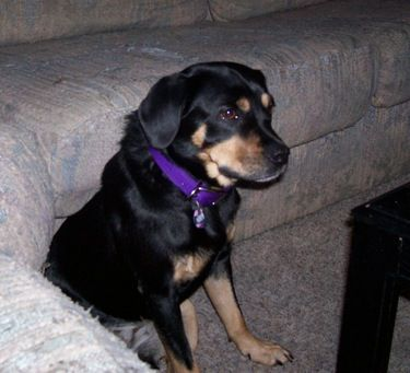 Reagle Information And Pictures Rottweiler Beagle Hybrid Dogs