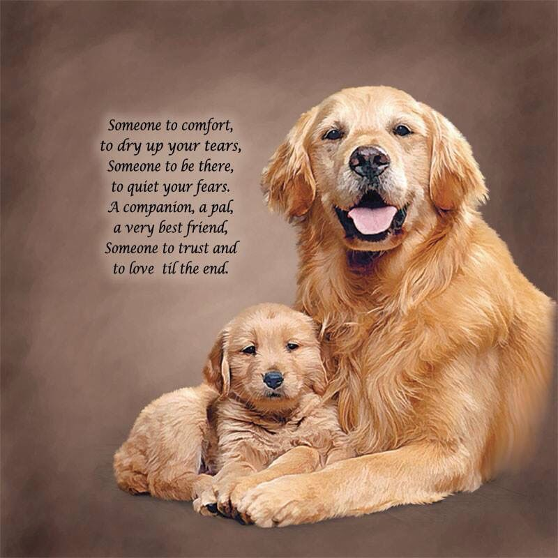 Man S Best Friend Retriever Golden Retriever Dog Love