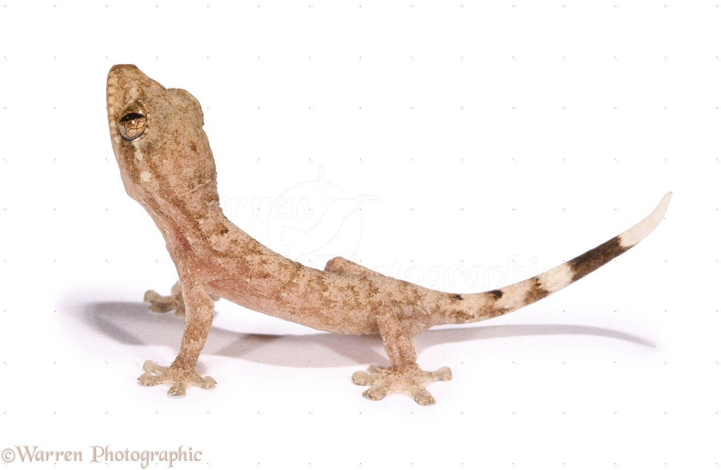 Baby Gecko Photo Wp12801 Gecko White Background Images