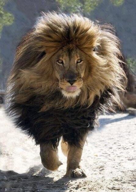 Paisajes Increibles Paisajes El Rey Leon Animals Lion Walking Animals Beautiful