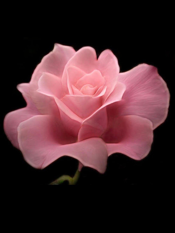 Wow very tender bloom flower wallpaper pinterest flowers very tender bloom love flowers amazing flowers love rose my flower izmirmasajfo