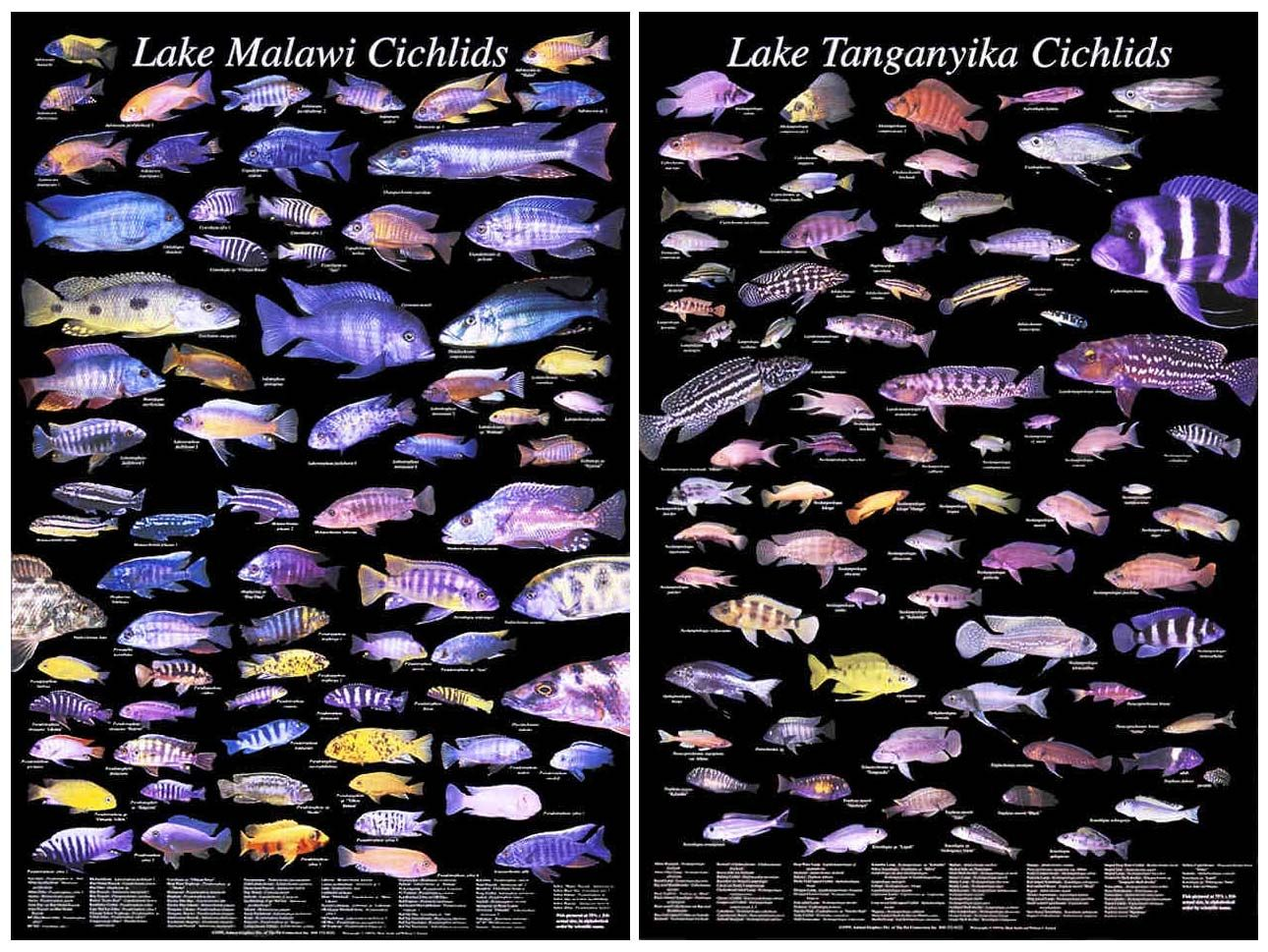 African Cichlid Compatibility Chart | Visual.ly |African Cichlid Chart