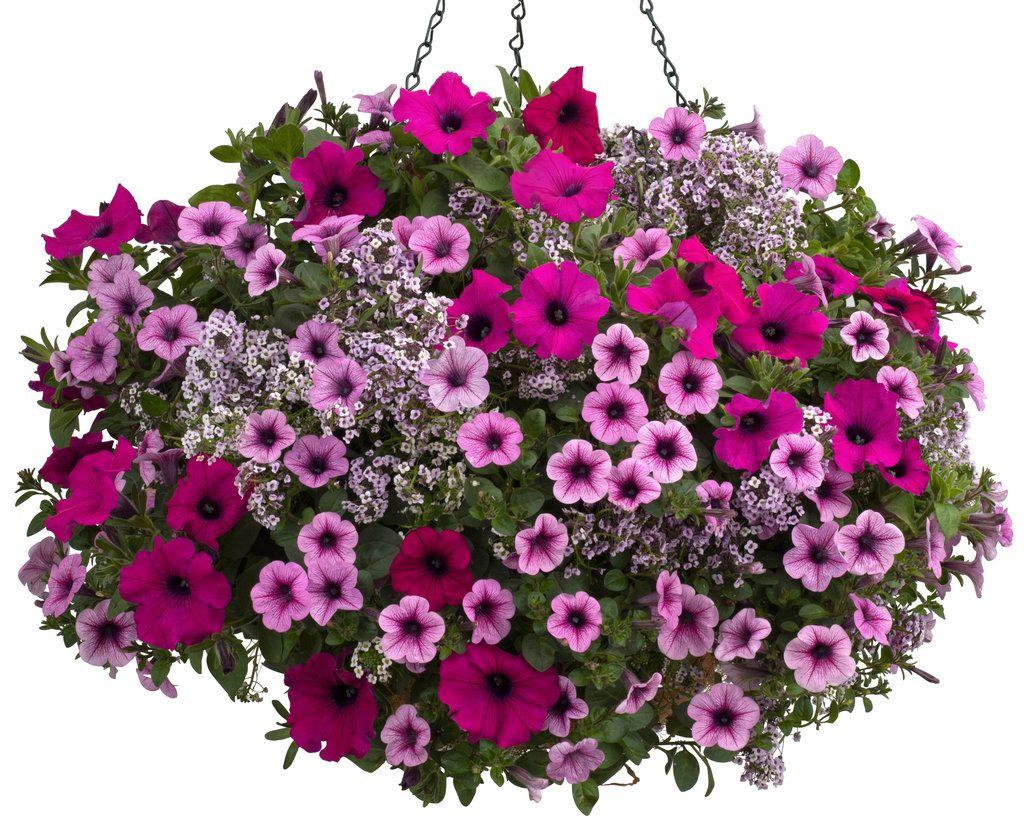 supertunia® royal magenta™ - petunia hybrid | petunias, minis and