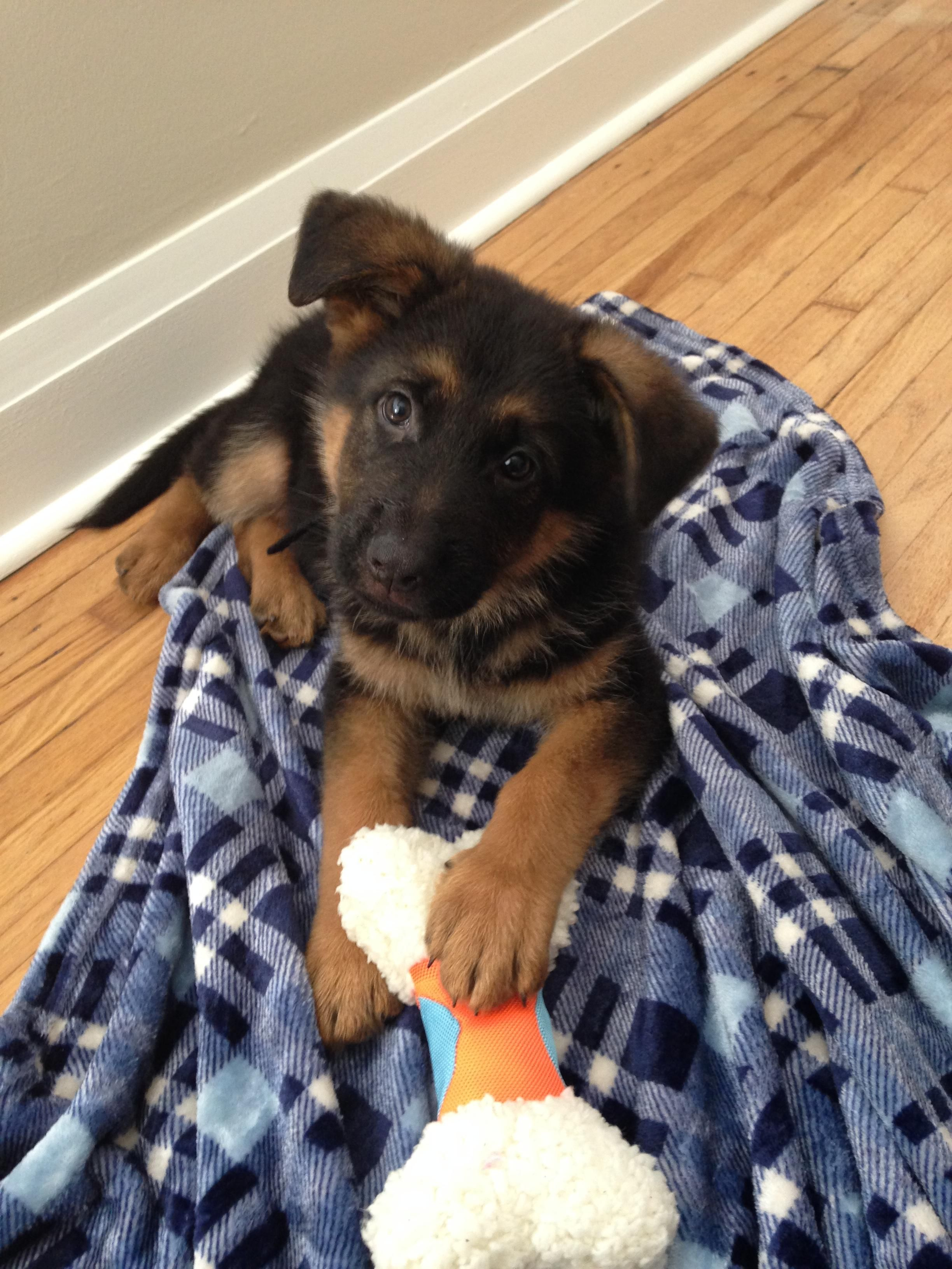 Welcome Home Deacon Our 8 Week Old German Shepherd Puppy Http