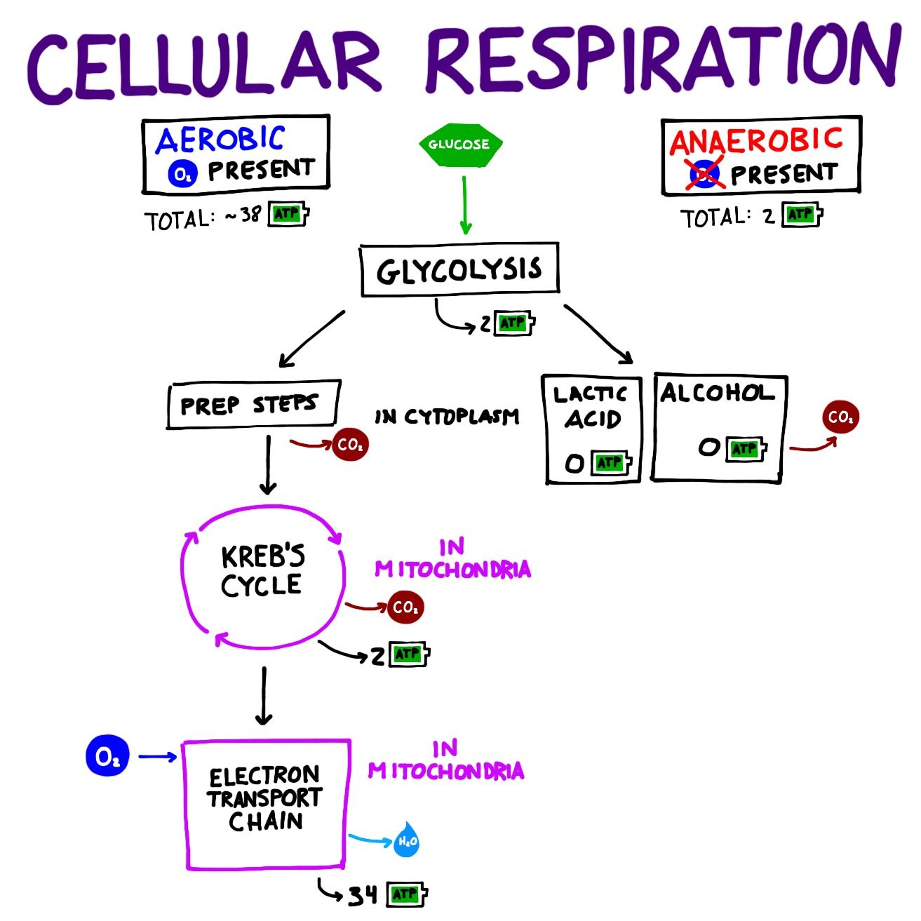 Overview of the major steps of cellular respiration glycolysis overview of the major steps of cellular respiration glycolysis krebs cycle electron transport chain cellularrespiration biochemistry science ccuart Choice Image