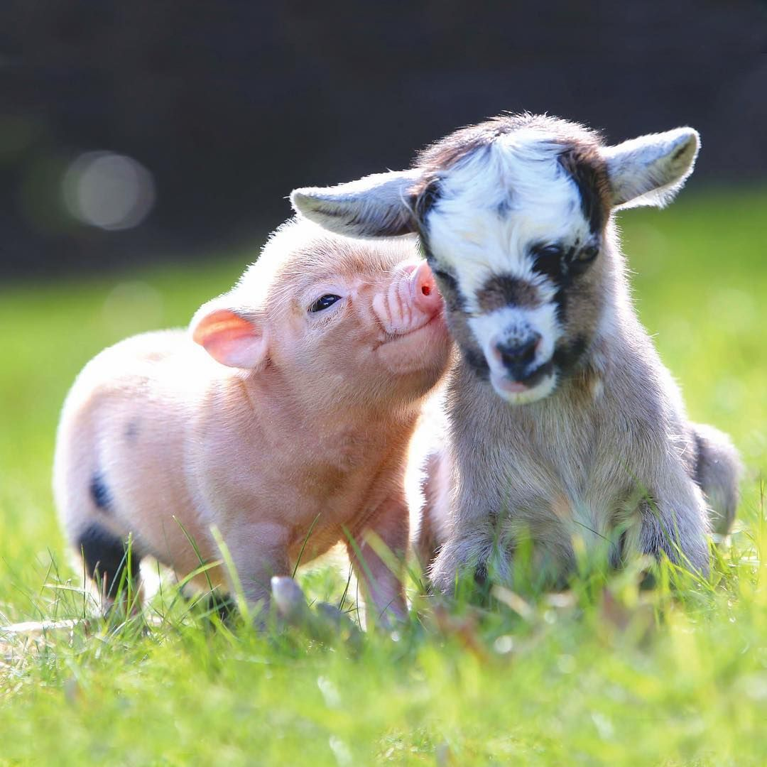 Piggy Goat love (With images) | Tiny baby animals, Baby animals ...