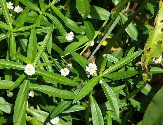 Alternanthera Philoxeroides Mart Griseb Herbalism Herbs Plants