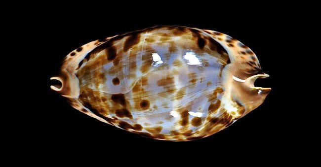 Zoila (friendii complex) jeaniana thalamega, 81,1 mm ::: cypraea.eu