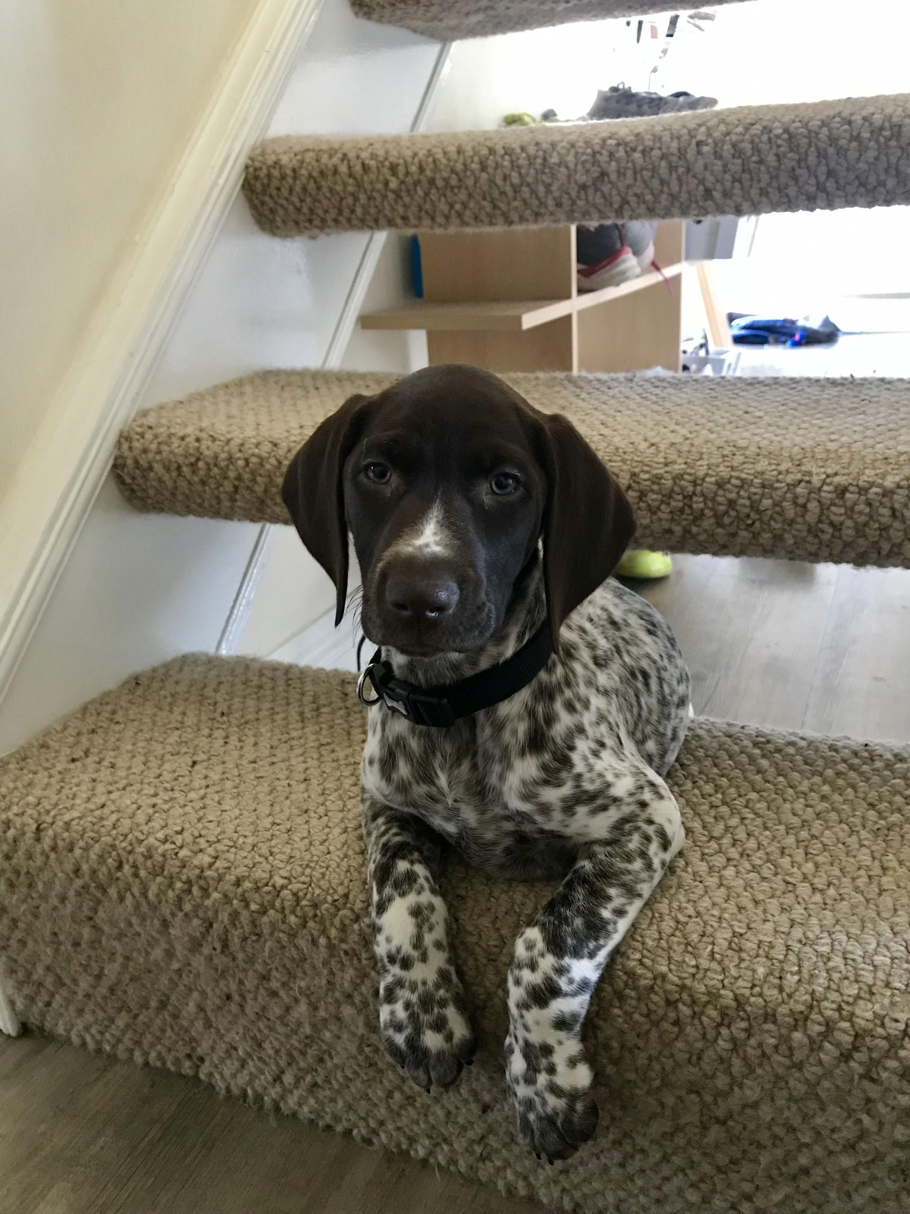 German shorthaired pointer smart friendly with images