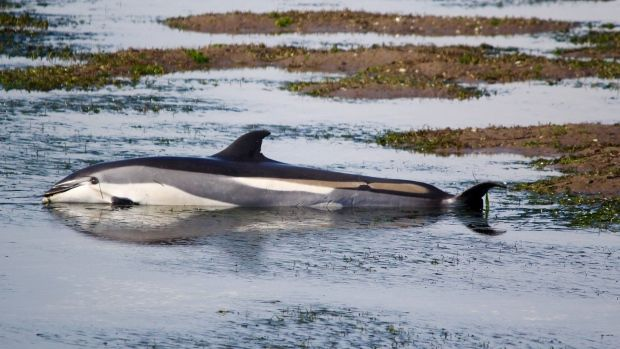 Officials hope to herd stranded dolphins in NB back into open ocean - CTV News