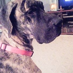 Coldwater Michigan Great Dane Meet Marla Foster Home A For