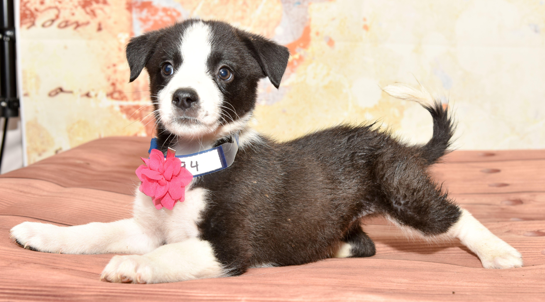 Puppies for adoption denver colorado