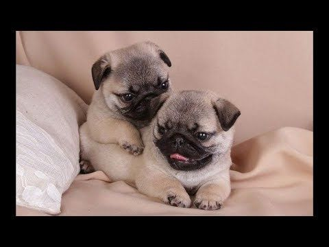 Funniest And Cutest Pug Dog Video Compilation 23 Youtube For