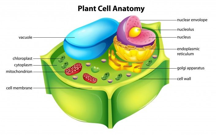 Animal Functions Cells Plant Easy And Labeled
