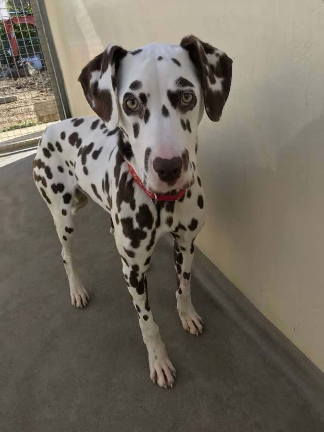 Dalmatian Puppy with Deadly Disease Purchased Online Gets