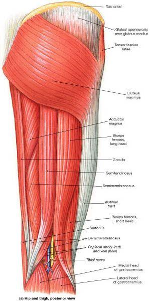 Muscle Identification. Región posterior del muslo. Unidad Especializada en Ortopedia y Traumatologia www.unidadortopedia.com PBX: 6923370 Bogotá, Colombia.