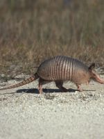 Man Tries To Shoot Armadillo, Ends Up Shooting Himself #refinery29