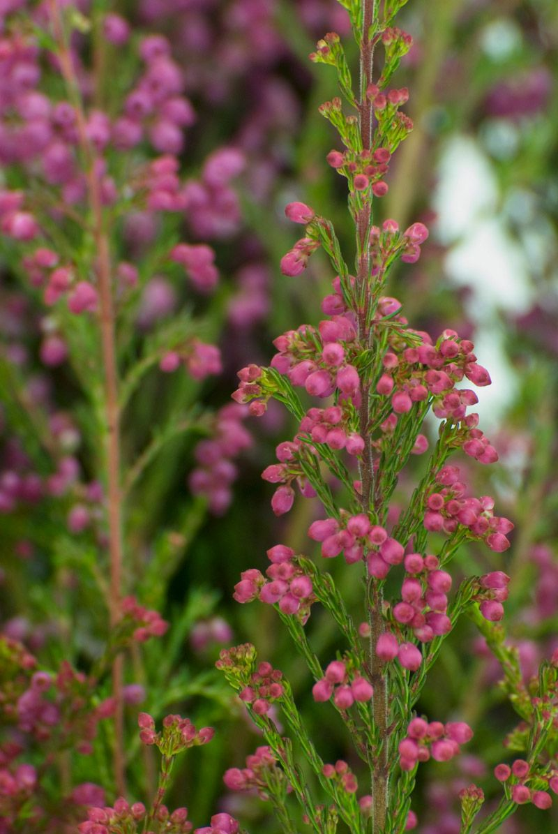 Heather Flower Protection Heather Flower Flowers Lavender Cottage
