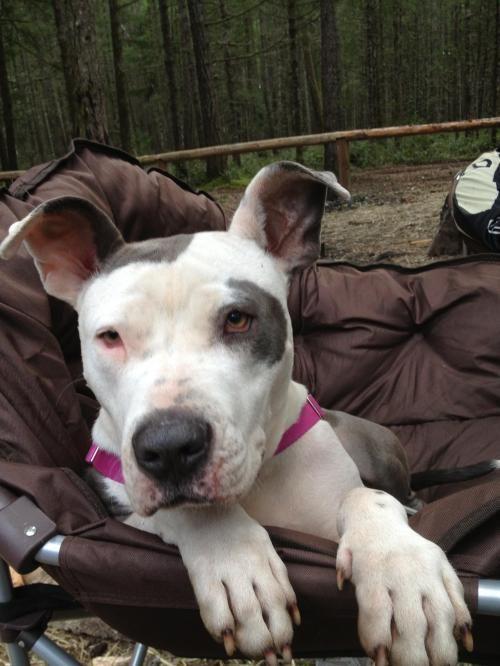 Adopt Sarah Bo Beara Fefifo Fara On Pitbull Terrier Dogs Dog Adoption