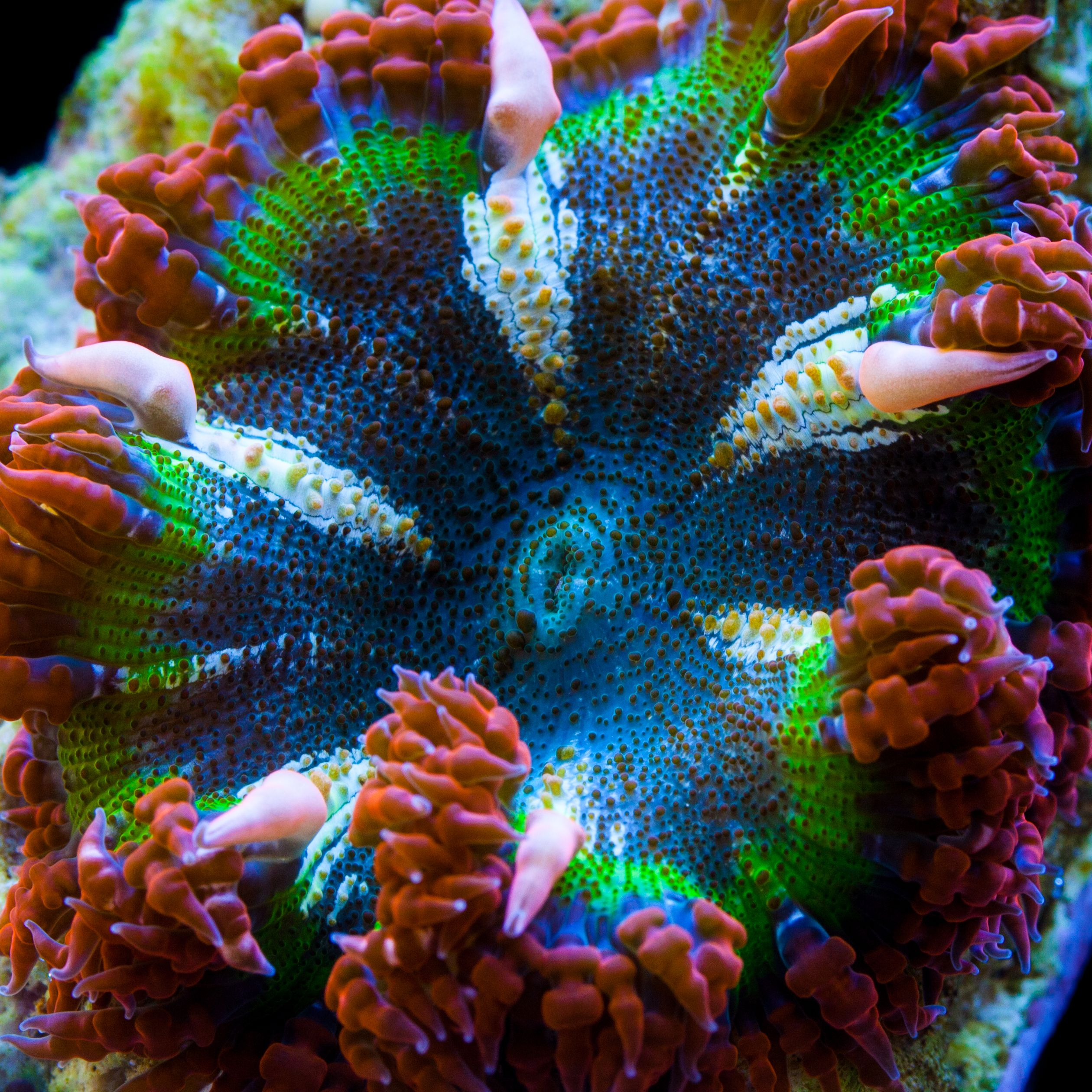 Pin By Timothy Prack On What I Hope To Get For Our Reef Someday Any Of These Will Do Sea And Ocean Saltwater Tank Anemone