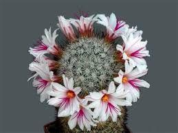 Картинки по запросу цветущие кактусы фото   Кактус ...