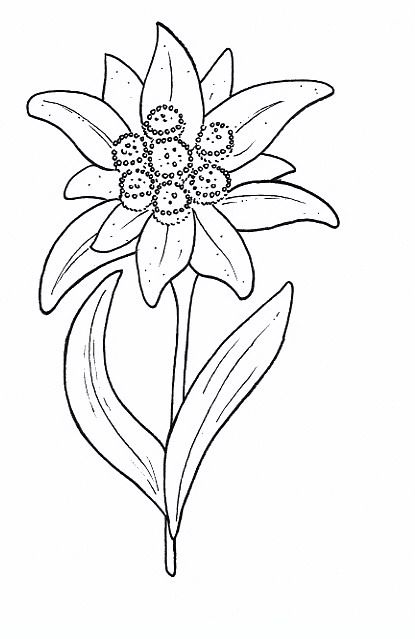 Edelweiss Flowers Coloring Pages Coloring Pages For Adults